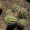 Echinocereus triglochidatus