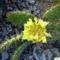 Opuntia phaeacantha camanchica