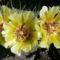 Opuntia phaeacantha virág