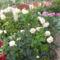 kedves virágom a rózsa.