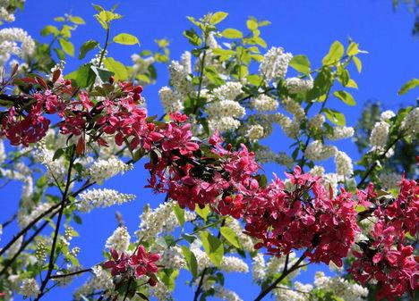virágzik   a gyümölcsfa
