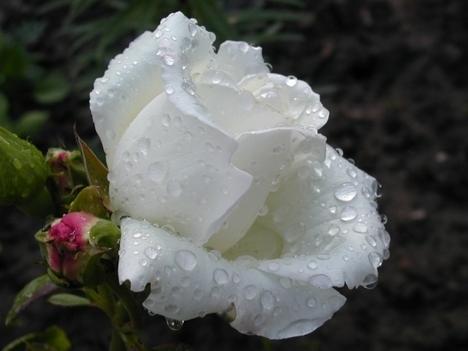 fehérrózsa eső után