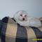 Ez az én máltai selyemkutyám. Ő szebb mint én....
