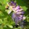 futó lila akác virága