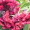 kakastaréj virág