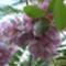 lila akácfa virága