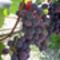 Szülői ház-27-szőlő