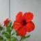 Hibiszkusz virága
