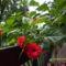 Hawai rózsa