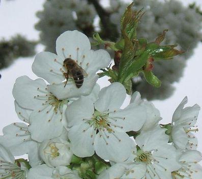 Bugac-i cseresznye virágzás 2008