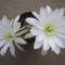 Echinopsis Sylvatica