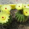 Notocactus muricatus