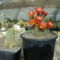 Echinocereus coccineus & var