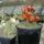 télálló kaktuszok