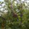 Termő díszalmafa