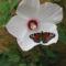 hibiszkusz pillangóval
