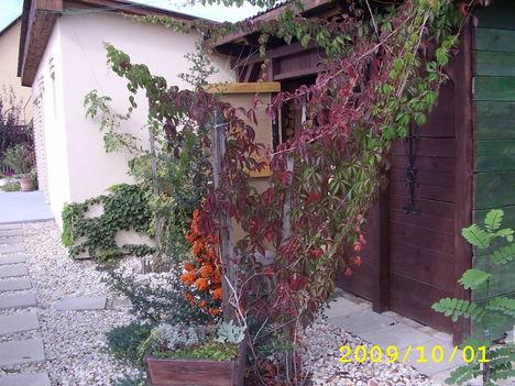 vadszőlő szinesre váltott jön az ősz