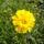 sárga évelő