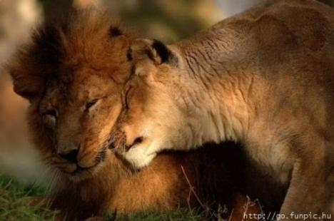 oroszlán01