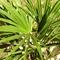 Télálló pálmafa