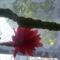 Kaktuszom -virága1