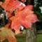 őszi levél 12