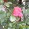novmberi rózsa