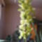 Cymbidium orchidea /közelről/