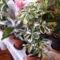 Sugárarália szobanövényeim  egyrésze között