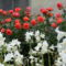illatos rózsafám és fehérharangvirág