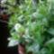 Gardenia bokrok