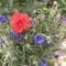 búzavirág és a rózsa