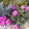 kukacvirág a kövek között