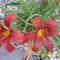 eső cseppek a sásliliomon