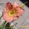 sásliliom egyik kedvecem