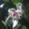 Dendrobium Orchidea/ oldalról/ ujra virágzik