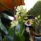 Dondrobium Orchidea 1