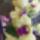 Dondrobium Orchidea 3