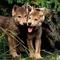farkas-kölykök