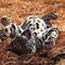 hempergő leopárd