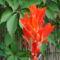 kanna virágja