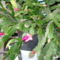 Karácsonyi kaktusz