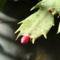 karácsonyi kaktuszunk 1