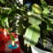 karácsonyi kaktuszunk 3