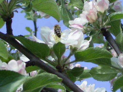 méhecske fán