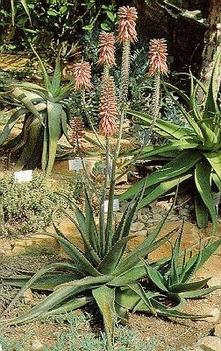 Aloe%20Barbadensis%20Miller