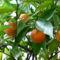 Érik a narancs...