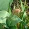 tulipán bimbója