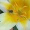 tulipán és a büdösbogár