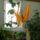 papagájka első virágzása